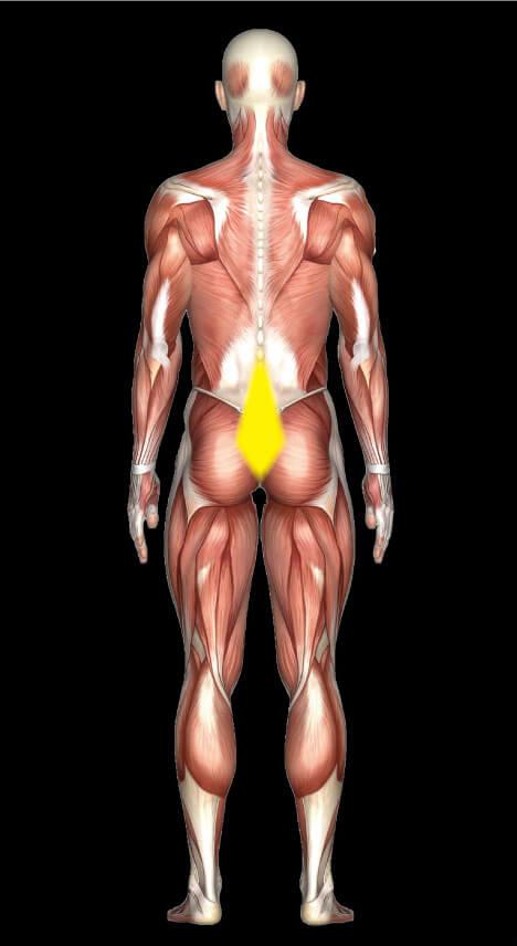 胸腰筋膜の位置を示した図